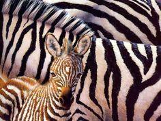 looking ( #zebras #ebonyandivory #animals ) | H U M Λ N™ | нυмanΛCOUSTICS™ | н2TV™