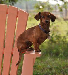 a beauty #dachshund