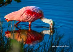 tclaud2002 posted a photo:  This roseate spoonbill was foraging for lunch when photographed at the Merritt Island Wildlife Refuge near Titusville, Florida. See this, and more, on my website at tom-claud,pixels.com .