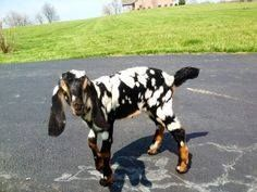 5 Things You Need To Know About Raising Pygmy Goats Beautiful Creatures, Animals Beautiful, Farm Animals, Cute Animals, Nubian Goat, Sheep Pig, Boer Goats, Raising Goats, Cute Goats