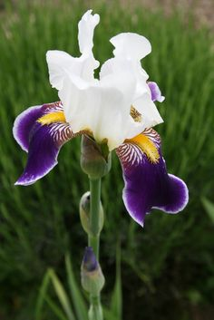 Iris germanica 'Wabash' - - Learn how to create a garden with Iris blooms all season long at http://gardendesignforliving.com/?p=1150