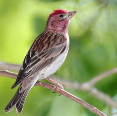 Cassin's Finch, the western counterpart to our Purple Finch, attends the feeder. The mountains of northern New Mexico are the southern limit to its breeding range, which extends north into western Canada.