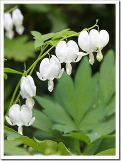 ♕ {White Bleeding Hearts ~ would love to try growing at our tiny cottage in the woods}