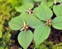 Nursery Specialities - Trilliums & Paris - Trillidium govanianum