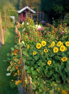 Das ist der monentane Blick zum Gartenhaus über das Blumenbeet hinweg. Zinien undSonnenblumen, Malven und Kapuzinerkresse, Phlox, Sommerhortensien...., da der Windin diesem Sommer noch nicht so oft in den Blumen herumgezaust hat, sieht alles recht prächtig aus.
