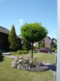 prunus eminens 39 umbraculifera 39 prunus fruticosa 39 globosa. Black Bedroom Furniture Sets. Home Design Ideas