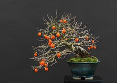 Bonsai tree gallery - Bonsai Empire