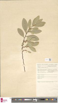 L.3700971 | Erythroxylum novogranatense (Morris) Hieron.