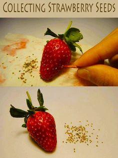 Cosecha de semillas de fresa