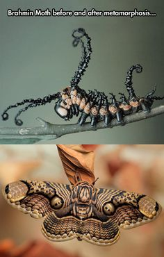 Caterpillar becomes Butterfly. How could such a handsome butterfly ever have been such an ugly baby?