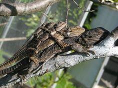 Lizards penta-planking
