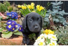 Beautiful Black Labrador puppy