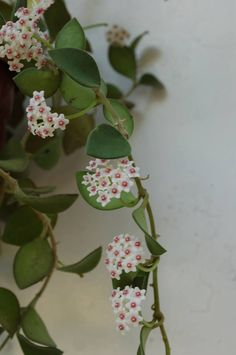 Hoya nummularoides