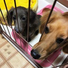 らいむのケージになっつが侵入! 仲良くしてね!  #dachshund #miniature #kaninhen #dog #happy #happylife #dogstagram #red #blue #japan #today #ダックスフンド #ミニチュアダックス #カニンヘンダックス #愛犬 #幸せ #ここなっつとらいむ # 犬