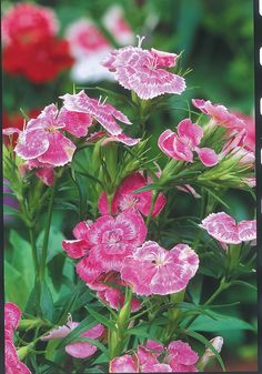 At just 5 inches tall, dianthus 'Wee Willie' is ideal for the front of a garden border.