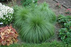 Click to view full-size photo of Prairie Dropseed (Sporobolus heterolepis) at Bachman's Landscaping