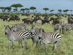 Google Image:  A group of zebras in foreground and wildebeasts at back. During migration various species of herbivores move together.