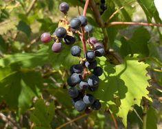 Come Home for Supper!: Wild Grape Jelly