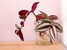 Bouturer Misère Tradescantia Zebrina (20) Green Life, Glass Vase, Succulents, Interior, Outdoor, Home Decor, Terrariums, Gardening, Gardens