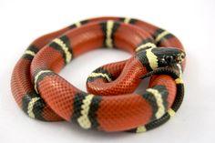 sinaloan milk snake by Julian Rossi on 500px