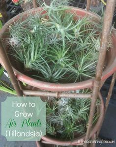 How to grow Air Plants - Tillandsia. These little plants seem to thrive on neglect.
