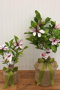 Southern magnolia memorial treestead of flowers for a person seeds of life offers a vast selection of memorial gift trees and in memory of gifts that honor and celebrate the lives of those who have passed negle Image collections