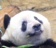 Animals And Pets, Cute Animals, Panda's Dream, Panda Family, Panda Bear, Bears, David, Pandas, Animales