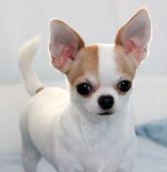 Excellent Chihuahua head