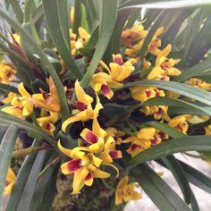 Maxillariella variabilis, yellow form, full of flowers!