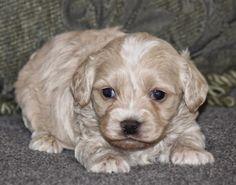 Cavoodle Breeder Designer Dog Cavapoo Puppy For Sale