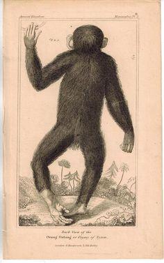 Orangutan (Orang Outang) Primates Monkey 1837 Antique Engraved Print Monkey Illustration, Botanical Illustration, Primates, Mammals, New World Monkey, Engraving Printing, Little Monkeys, Orangutan, Natural History
