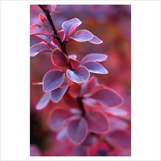 GAP Photos - Garden & Plant Picture Library - Berberis thunbergii - GAP Photos - Specialising in horticultural photography