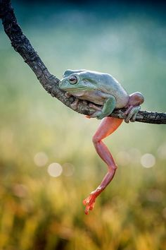 dumpy alone by Hendy Mp on Like Animals, Funny Animals, Snake Turtle, Funny Frogs, Pond Life, Frog Art, Green Frog, Frog And Toad, Little Critter