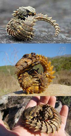 Armadillo Girdled Lizard - real life dragon