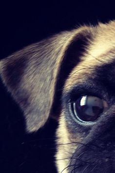 Extreme Pug close-up.