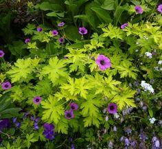 Geranium x procurrens 'Ann Folkard' PLANT TYPE  Perennial ZONES  5a-10b SIZE  H:1'-2' W:2'-3' GROWING CONDITIONS  SOIL NEEDS: Well-Drained, Rich  WATER NEEDS: Even Moisture, Regular  SUN EXPOSURE: Sun, Part Sun, Part Shade  FEATURES  FLOWERS: Magenta  FOLIAGE: Gold / Yellow, Chartreuse / Lime  FLOWERING TIME: Summer