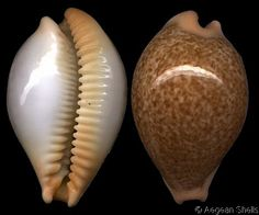 cypraea barclayi - Google Search