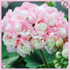 10ピース/バッグレアゼラニウム種子appleblossomローズバッドペラルゴニウム多年生の花の種ハーディ植物盆栽鉢植え植物