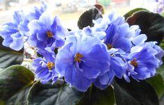 LE-Aramis Saintpaulia, Plants, African Violet, Plant, Planets