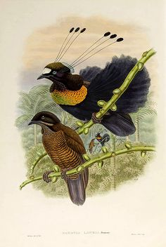 028-Ave del paraiso de Lawes-The birds of New Guinea and the adjacent Papuan islands..1875-1888-Vol I-Gould y Sharpe http://www.odisea2008.com/2011/12/