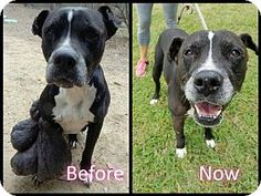Whitestone, NY - American Staffordshire Terrier Mix. Meet Shadow (black), a dog for adoption. http://www.adoptapet.com/pet/18380740-whitestone-new-york-american-staffordshire-terrier-mix