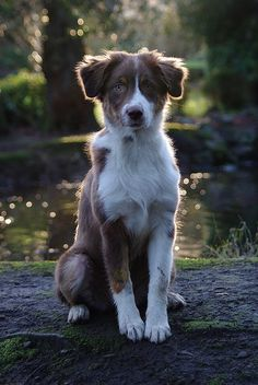 21-week-old Aussie pup. He looks like such a young teen to me. #australianshepherd