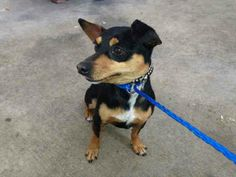 SUPER URGENT at Miami Kill Shelter BRUNO  (A1583957) I am a male black and tan Miniature Pinscher mix.   The shelter staff think I am about 2 years old.   I was found as a stray and I may be available for adoption on 01/05/2014. — hier: Miami Dade County Animal Services. https://www.facebook.com/photo.php?fbid=693742643993475&set=a.217775651590179.64764.191859757515102&type=3&theater