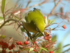 """The Japanese white-eye is olive green on its back, and is pale green on its underside. Its feet, legs, and bill range from black to brown.[2] It has a green forehead and a yellow throat.  This species exhibits the distinctive white eye-ring that gives it its name (mejiro also meaning """"white eye"""" in Japanese). Adults range from 4 to 4.5 inches in length, and weigh between 9.75 and 12.75 grams."""