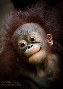 Good Hair Day by wildlife photographer Cathy Stolz. Portrait of baby orangutan. Happy Animals, Cute Baby Animals, Animals And Pets, Funny Animals, Primates, Mammals, Animal Pictures, Cute Pictures, Pictures Of Monkeys