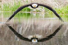 Steve Biro snapped this photo of a bald eagle at Canadian Raptor Conservancy in Vittoria, Ont. (Submitted by Steve Biro) - Windsor photographer's shot of bald eagle and its reflection goes viral Bald Eagle Images, Eagle Pictures, Photos Rares, Reflection Photos, Glamour Shots, Biro, Great Smoky Mountains, Birds Of Prey, Wildlife Photography