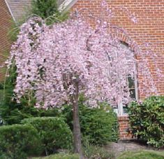 13 Best Dwarf Weeping Cherry Tree Images Weeping Cherry Tree