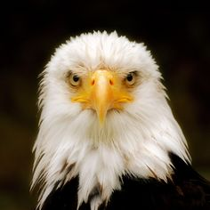 Just love the face of the bald eagle. Always gives me the chills ♥
