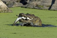 Like it would with any other prey, once the baby crocodile was crushed the beast then prepared to swallow it