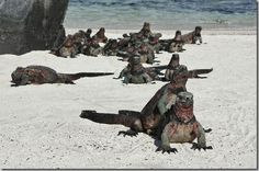 Christmas Iguanas in the Galapagos Islands